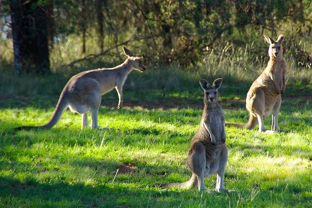Kangaroo Hop Australia