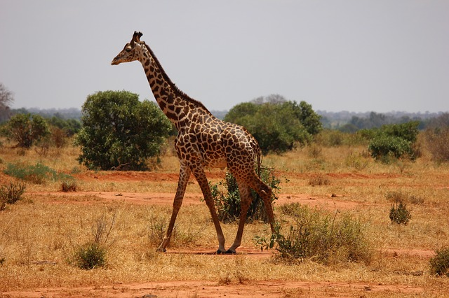 Giraffe - Safari Trip