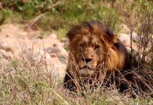 Lion - Safari Vacation in Africa