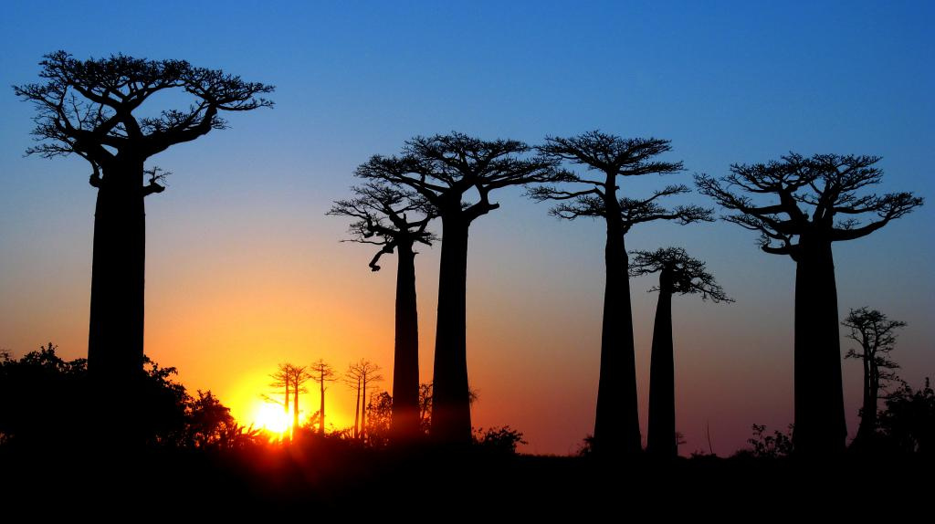 Madagascar - Avenue of the Baobabs