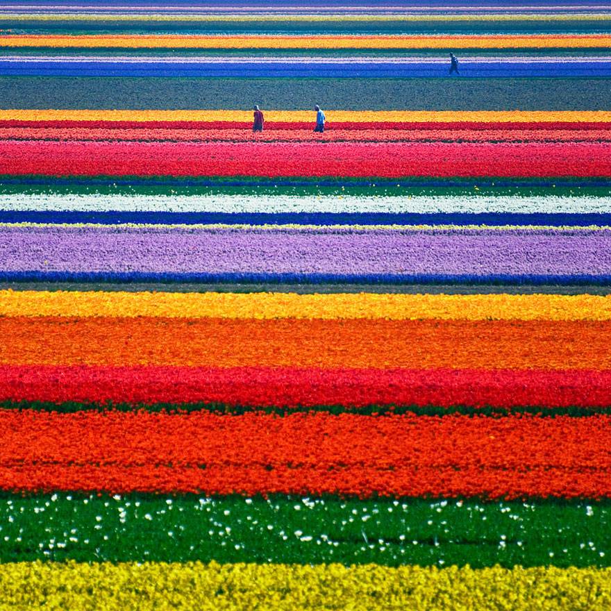 Tulip Fields in Netherlands