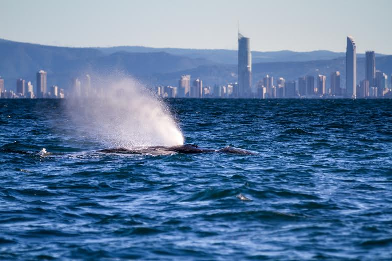 Whale Watching - visit gold coast