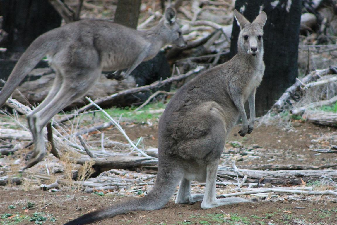 Tower Hill Kangaroo
